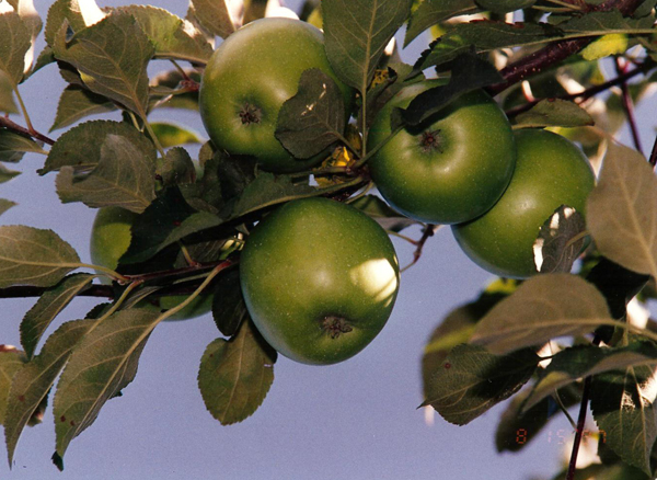 green-apples-001